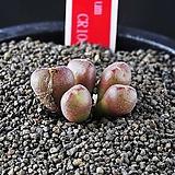 4271-C.minusculum  leipoldtii  CR1007  미누스쿨룸 레이폴드티5두|