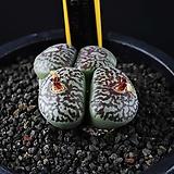 4282-Conophytum wittebergense G-type 위트버젠스 4두|Conophytum Wittebergense