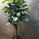 대박나무(한목대) 핫도그모형으로된 신종녹보수에요(새로입고) 높이 90-100|happy tree