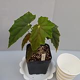 루바게이(베고니아)|Begonia