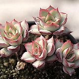 Echeveria Esther