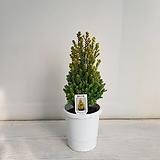 옐로우봉/공기정화식물/반려식물/온누리 꽃농원|