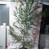 스프링삼나무2번-피톤치드-알레르기에좋은-동일품배송