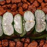 적백운 옥선-N640 (赤白雲 玉扇-N640)-01-11-No.2173 Haworthia truncata