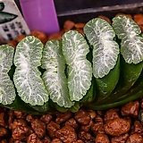만상 몬스터(万象Monster)-01-11-No.2624 Haworthia maughanii