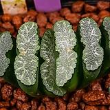 옥선 실생(玉扇 實生)-01-11-No.2313 Haworthia truncata