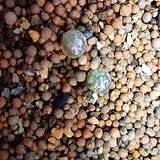 부르게리(1두램덤)|Conophytum burgeri