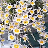 덴드로비움 푸리물리늄.석곡.아주좋은향(꽃이 예쁜 연핑크색의노랑색립프).여성스러운 형의꽃.인기상품.상태굿.|