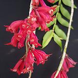 덴드로비움 라웨시.석곡.다시입고.(꽃이 예쁜 빨강색).여성스러운 형의꽃.인기상품.상태굿.|