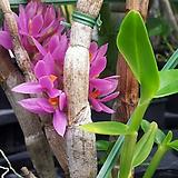 덴드로비움 블랙티오슘.석곡.다시입고.(꽃이 예쁜 핑크색).여성스러운 형의꽃.인기상품.상태굿.|