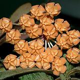 호야 하와이.오렌지브라운가미된 별사탕모양꽃.꽃색깔예뻐요.잎모양도 예뻐요.향기좋은향.인테리어효과.공기정화식물.|
