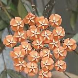 호야 하와이.오렌지브라운가미된 별사탕모양꽃.꽃색깔예뻐요.잎모양도 예뻐요.향기좋은향.인테리어효과.공기정화식물.|Hoya carnosa
