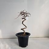 소사나무 분재/공기정화식물/반려식물/온누리 꽃농원|