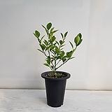 깔라만시/공기정화식물/반려식물/온누리 꽃농원|