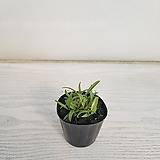 긴기아난 원종/공기정화식물/반려식물/온누리 꽃농원|