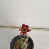 할미꽃/공기정화식물/반려식물/온누리 꽃농원|