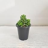 녹귀란/공기정화식물/반려식물/온누리 꽃농원|Sedum hernandezii