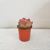 당인/공기정화식물/반려식물/온누리 꽃농원|Kalanchoe thysifolia