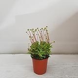 라디칸스/공기정화식물/반려식물/온누리 꽃농원|