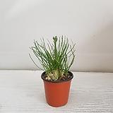 알부카/공기정화식물/반려식물/온누리 꽃농원|