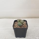 제옥/공기정화식물/반려식물/온누리 꽃농원|Pleiospilos nelii