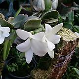 파투우사.다시입고.순백의흰색꽃.유향종.아주좋은향.(잎과 꽃이 앙징맞고 귀엽습니다).인기상품.|