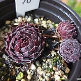 홍학바위솔-10-노지월동중 Echeveria Beninoturu(JAPAN hyb)