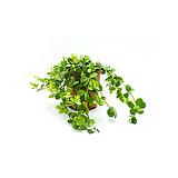 이사벨라 행잉식물|