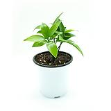 죽백나무 열매맺는 공기정화식물|