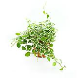 푸밀러 행잉식물 수경재배식물|