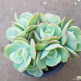 둥근잎비취후리데 적심|Echeveria Peach Pride