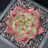 Echeveria agvoides broad leaves Amestro / (환엽)아메스트로 무지금-PK043