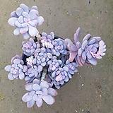 홍미인 대품자연군생|Pachyphytum ovefeum cv. momobijin