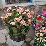 꽃기린  특 핑크|