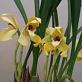 막실라리아(노란색).다시입고.꽃대.벌브모양예쁨.꽃예쁨.향기아주좋은향(진한바닐라향).촉이많이생김.|