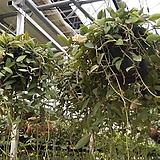 호야.라쿠노사(깨끗한 흰색).꽃색깔예뻐요.향기좋은향.아카사카향.인테리어효과.공기정화식물..잎도예뻐요.|Hoya carnosa
