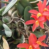소프로니스트 세루누아.(주황색꽃).다시입고. 잎,꽃앙징맞고 예쁩니다.토분.인기상품.|