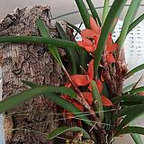 세라토스타일스.굴피부작용.주황색꽃.꽃이 아주 예쁩니다.고급종.상태굿.인테리어효과.|