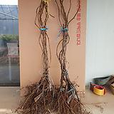 키위묘목(노랑키위)2개+숫나무1개/골드키위/다래묘목/참다래묘목