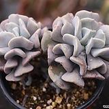 큐빅프로스티 군생 S4563|Echeveria pulvinata Frosty