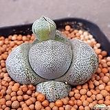 제옥 꽃피면예뻐요 238|Pleiospilos nelii