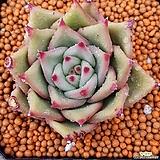 퍼플에보니  수입들어온원종입니다  225|Echeveria agavoides purple ebony