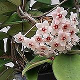 호야.펀치.핑크색.꽃색깔예뻐요.잎에 무늬있어요.향기좋은향.인테리어효과.공기정화식물.꽃눈이 있어요.