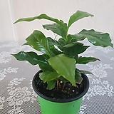 아라비카(S)2020새상품/공기정화식물