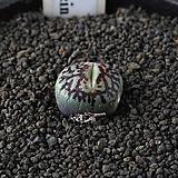 4285-C.wittebergense RR714 Klipfontein 위트버젠스|Conophytum Wittebergense