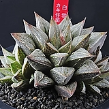 4296-백설희(白雪姬)3두|sedum spathulifolium