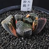 A37-백묘(白妙)만상금|Haworthia maughanii variegated