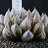 A39-블랙 옵튜사금|Haworthia cymbiformis var. obtusa