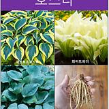 호스타 (다양한 잎의 크기와 무늬가 아름다운 다년생 숙근초)|
