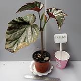 이렌누스(베고니아)|Begonia